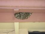090908 European Paper Wasp Nest 002